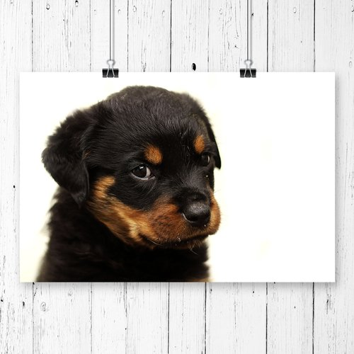 East Urban Home Rottweiler Puppy Dog Photographic Print