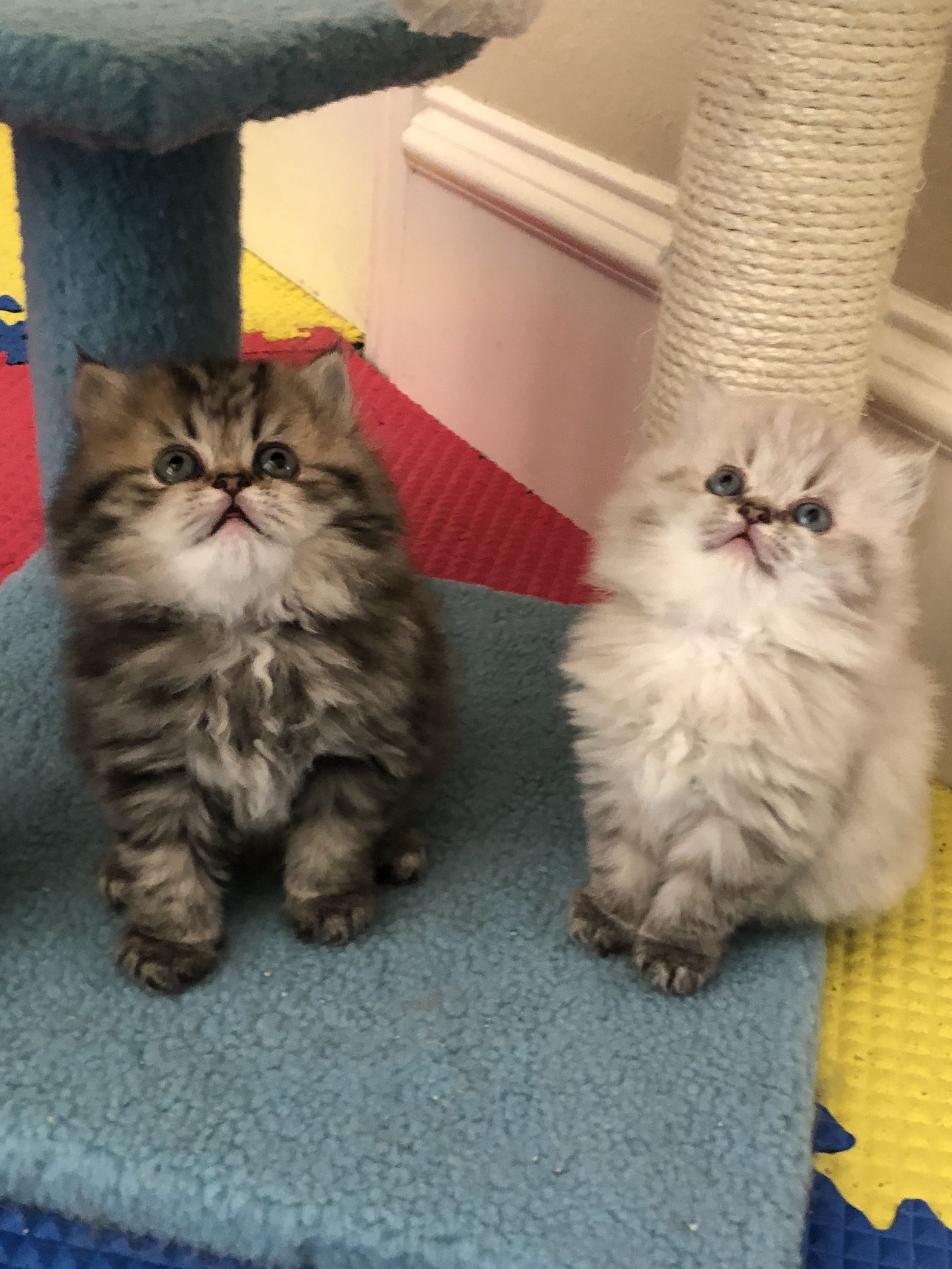 Persiankittenpals Com Sweet Lily And Zac Beautiful Persian Kittens In Texas For Sale Persian Kittens For Sale Kittens Persian Kittens