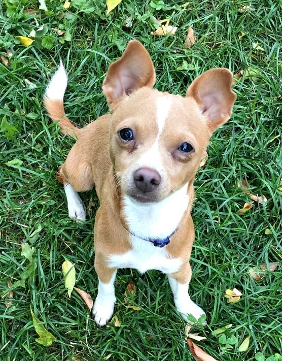 Adopt Rudy on Rescue dogs, Chihuahua mix, Animals