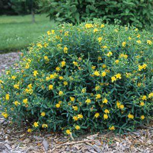 St John S Wort Shrub Recommended For Colorado Garden