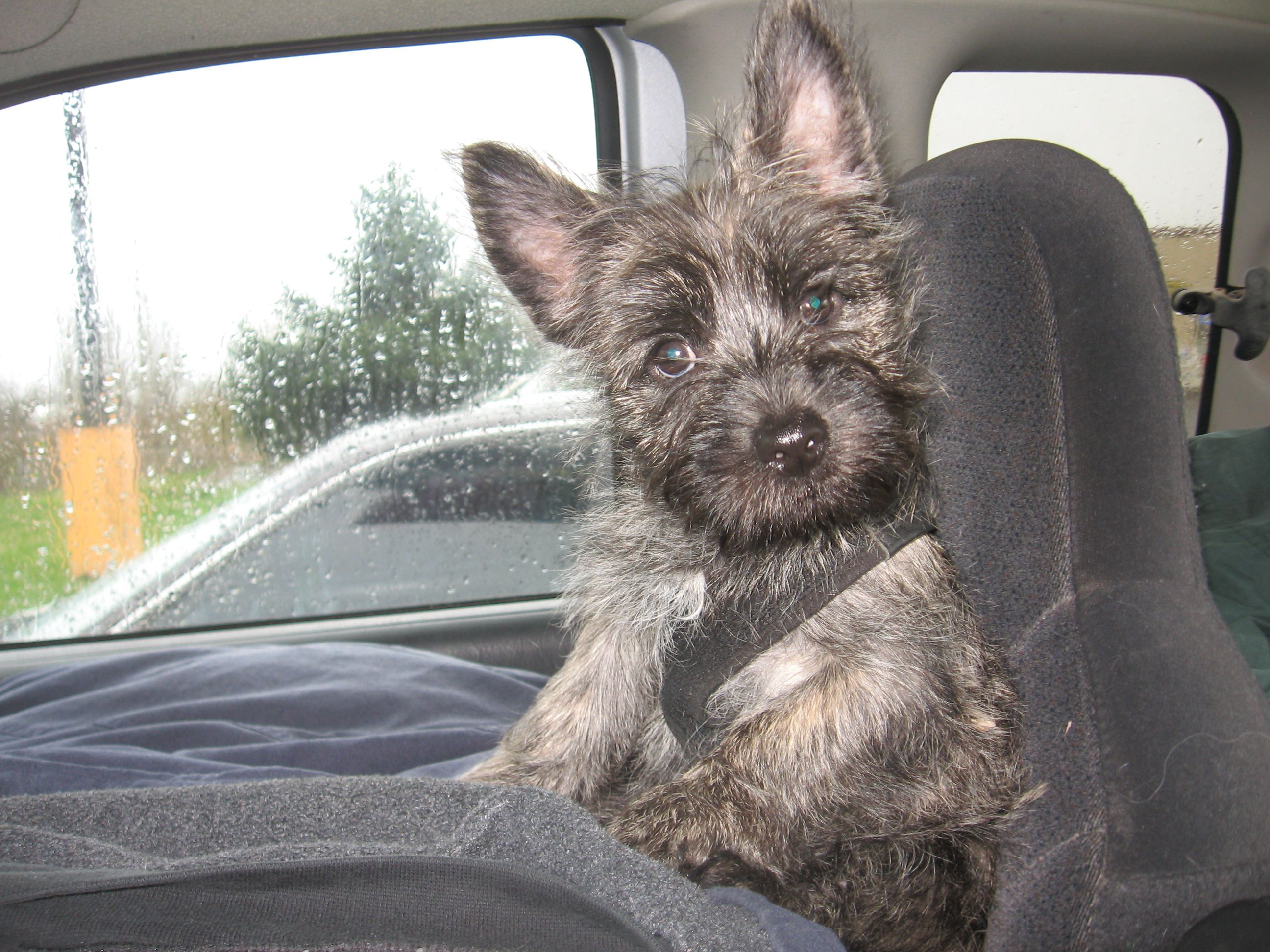 Heading To My New Home Stud Dog Cairn Terrier Animals