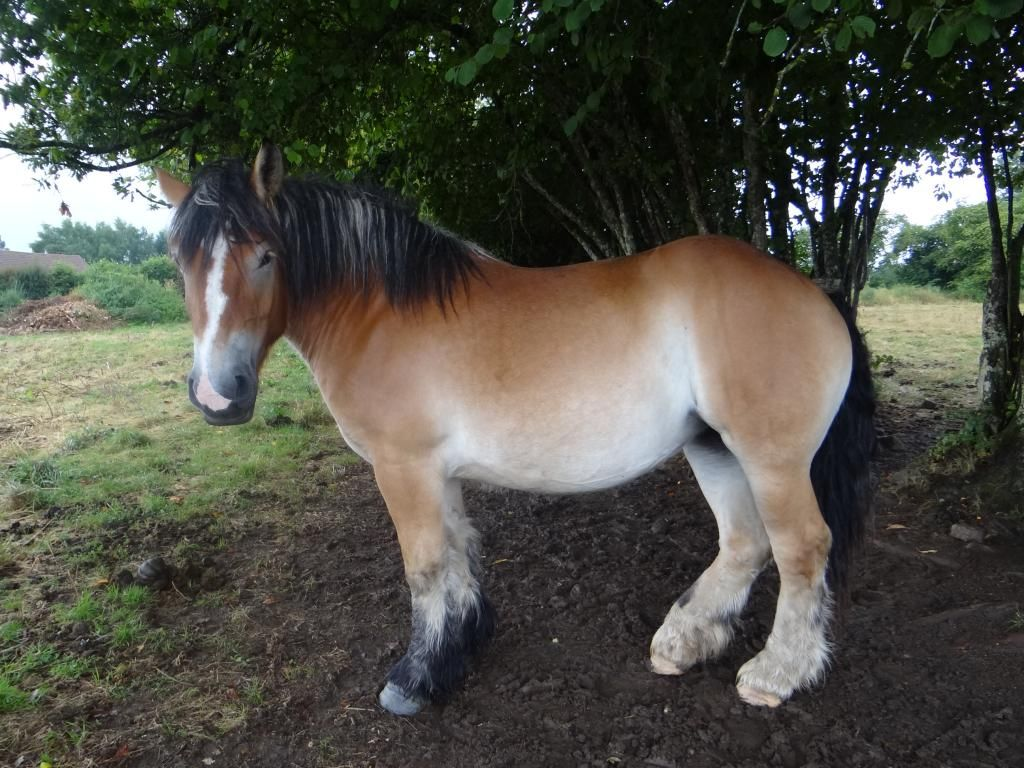 Trait Auxois, rare French breed | Animals - Horses | Draft ... - photo#29