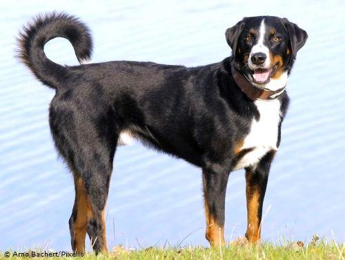 Appenzeller Sennenhund Hunderasse A Sennenhund Hunde Rassen Entlebucher Sennenhund