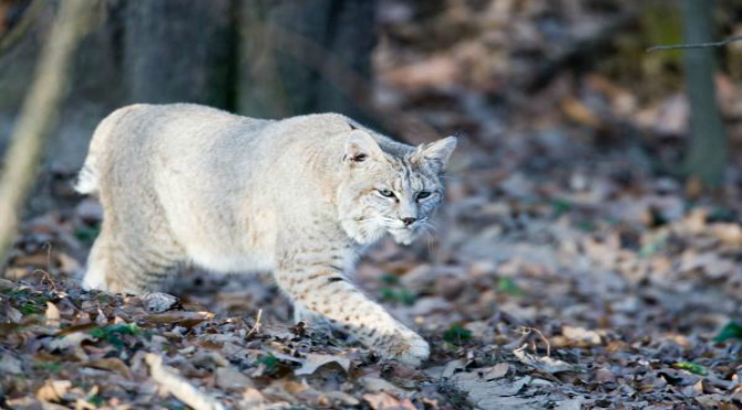 Bobcat Tales (With images) Wild cats, Animal tracks, Cat