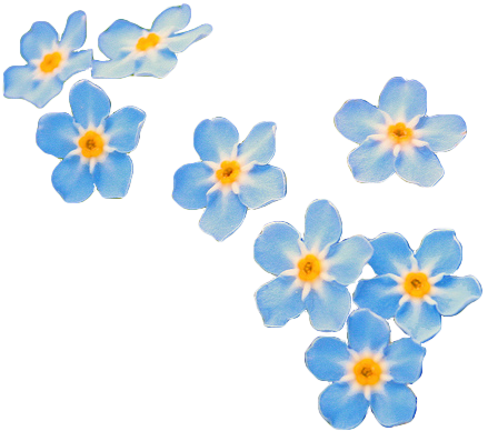 Transparent Forget Me Not Tumblr Flower Blue Flower Wallpaper Flower Art