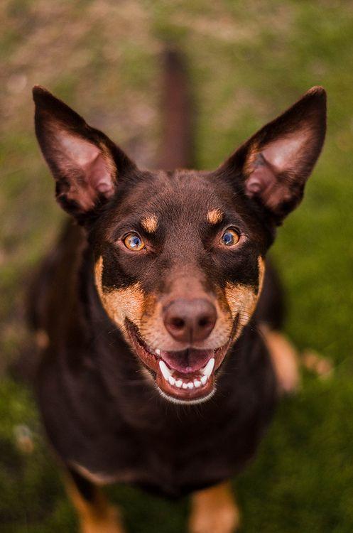 Australian Kelpie Dog Breeds Working Dogs Australian Animals