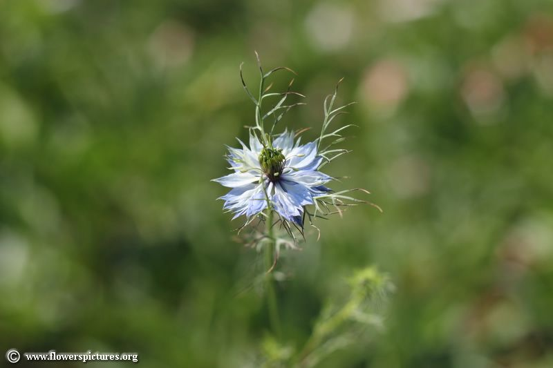 Love In A Mist Flower 23 Flower Pictures Flowers Mists