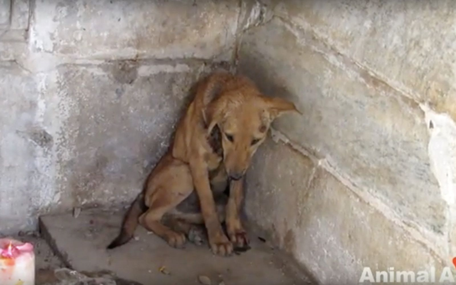 This dog found shelter in a temple and then got a second chance a life!