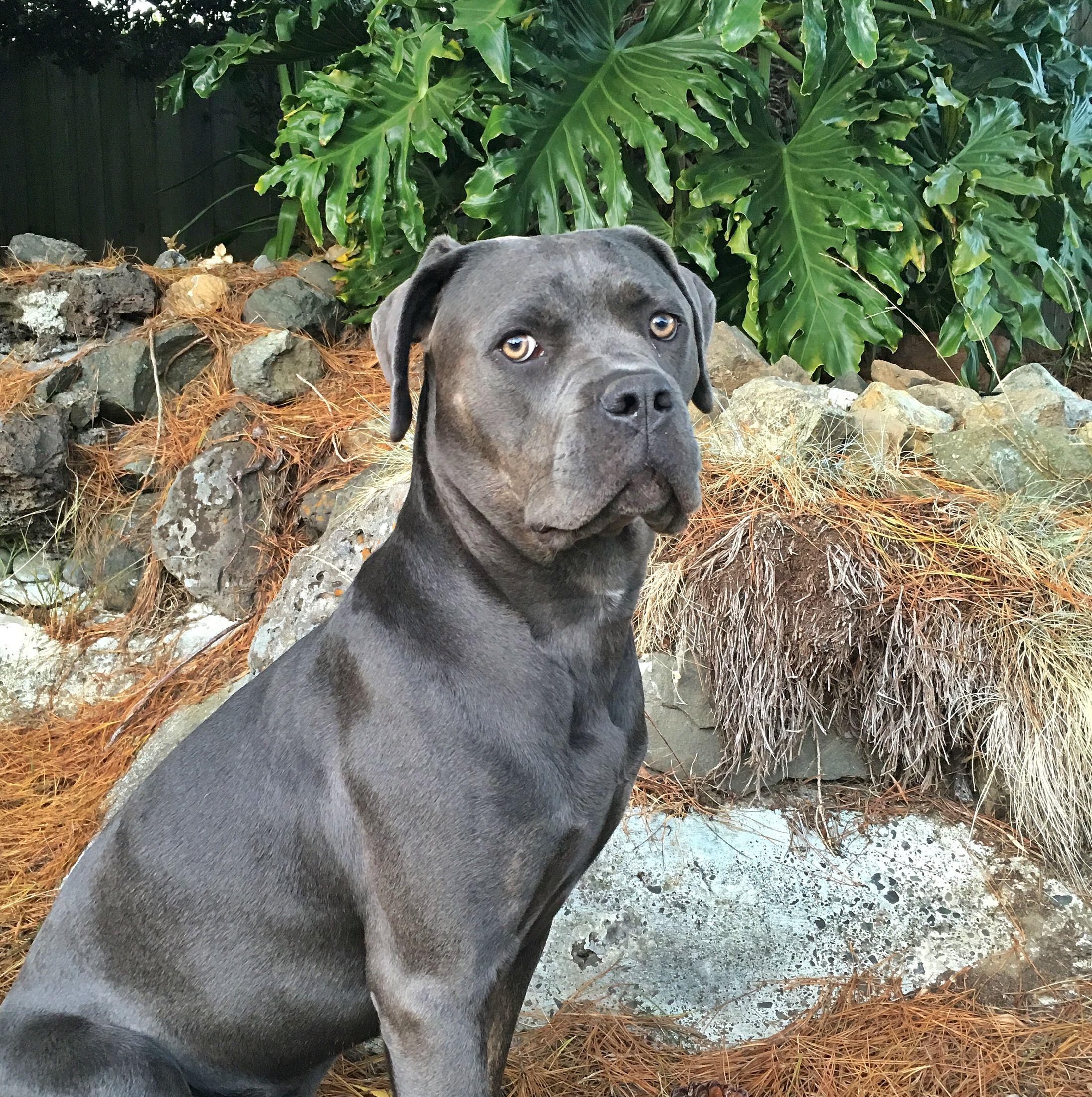 фото собак кане корсо серого цвета разрабатываем решения, при