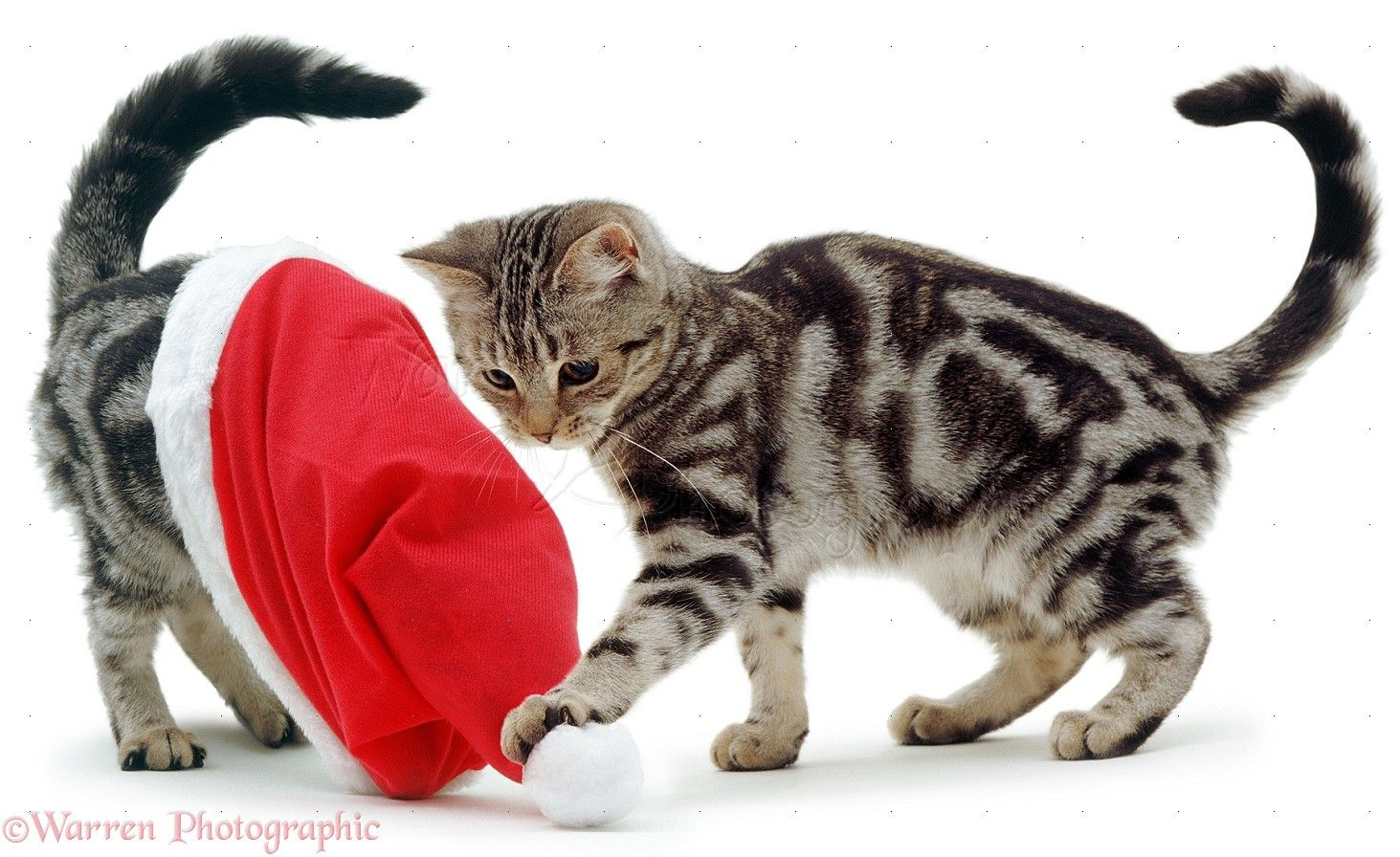 cats playing | WP01498 Silver tabby kittens playing with a Father Christmas hat.