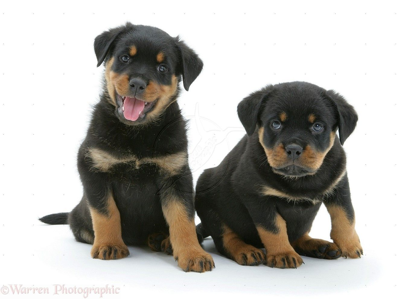 Two Rottweiler Pups Rottweiler Puppies Rottweiler German Rottweiler Puppies