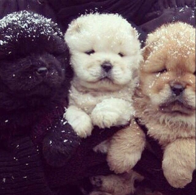 Download Chow Chow Chubby Adorable Dog - cee8d22869af7a78571ab3a8fdddf2b9  You Should Have_546125  .jpg