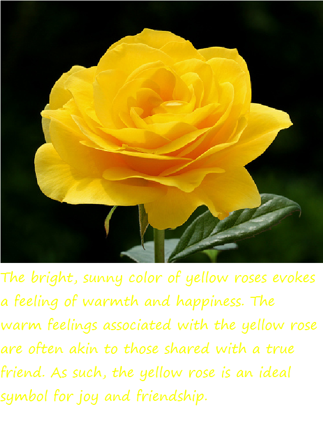 17 Meaning Of Yellow Roses Roses Meaning Of Yellow
