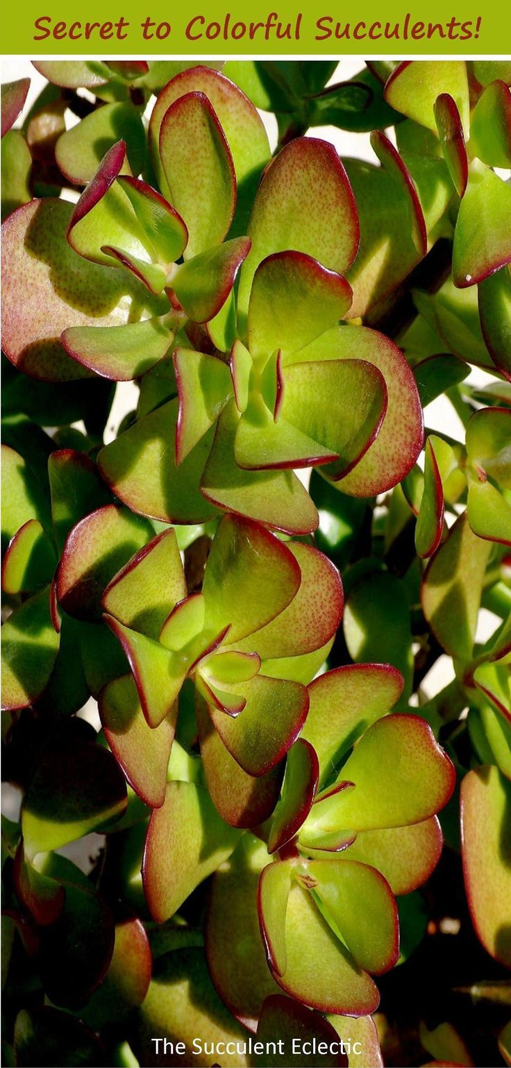 The Secret to Colorful Succulents? Stress Jade plant