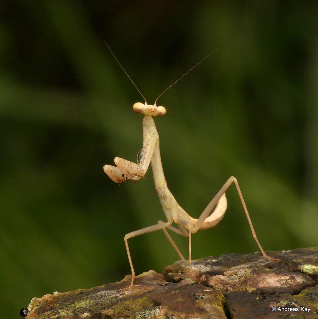 Praying Mantis Praying Mantis Pray Ecuador