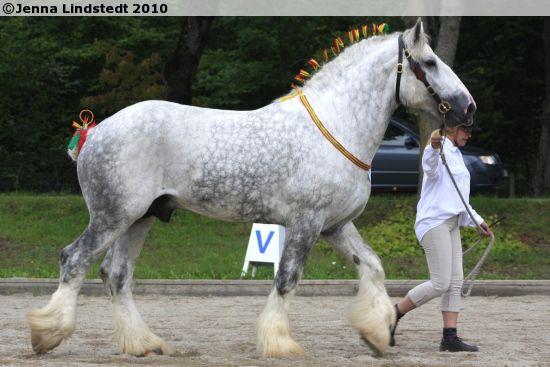 Shire - stallion Trösslagårdens Dorian Grey | Shire ...