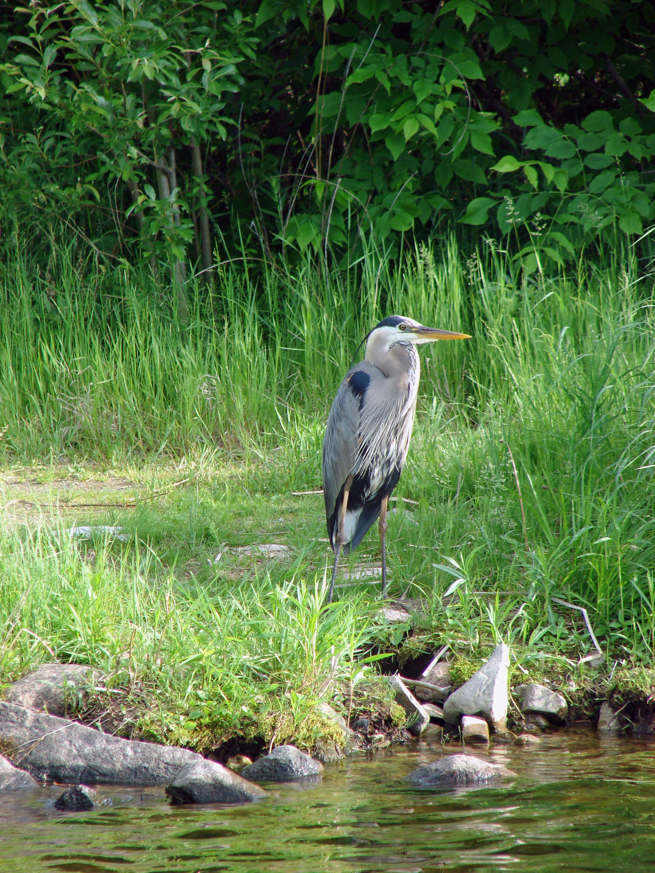 Great Blue Heron (Ardea hernias) [Photo taken by J.Lewis at the Bois Forte Indian Reservation - Bois Forte Band of Chippewa, north-eastern Minnesota, with a 6 MP digital camera.]