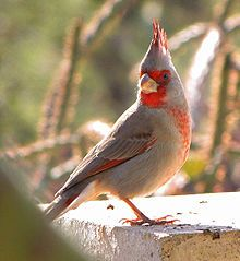 The Female Red Bird Is Subdued In Color To Make Her Less Visible