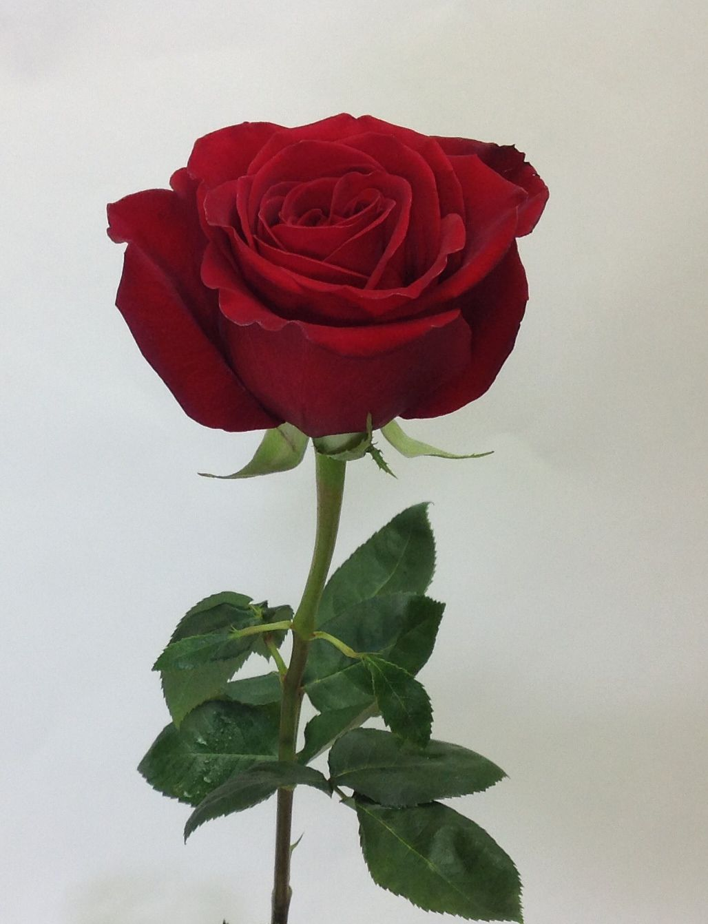 A beautiful red rose the symbol of love jacobsens flowers a beautiful red rose the symbol of love jacobsens flowers buycottarizona