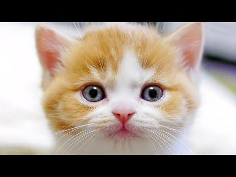 Meowing Cat Videos Meow Cat Video Kitten & Cat Meowing