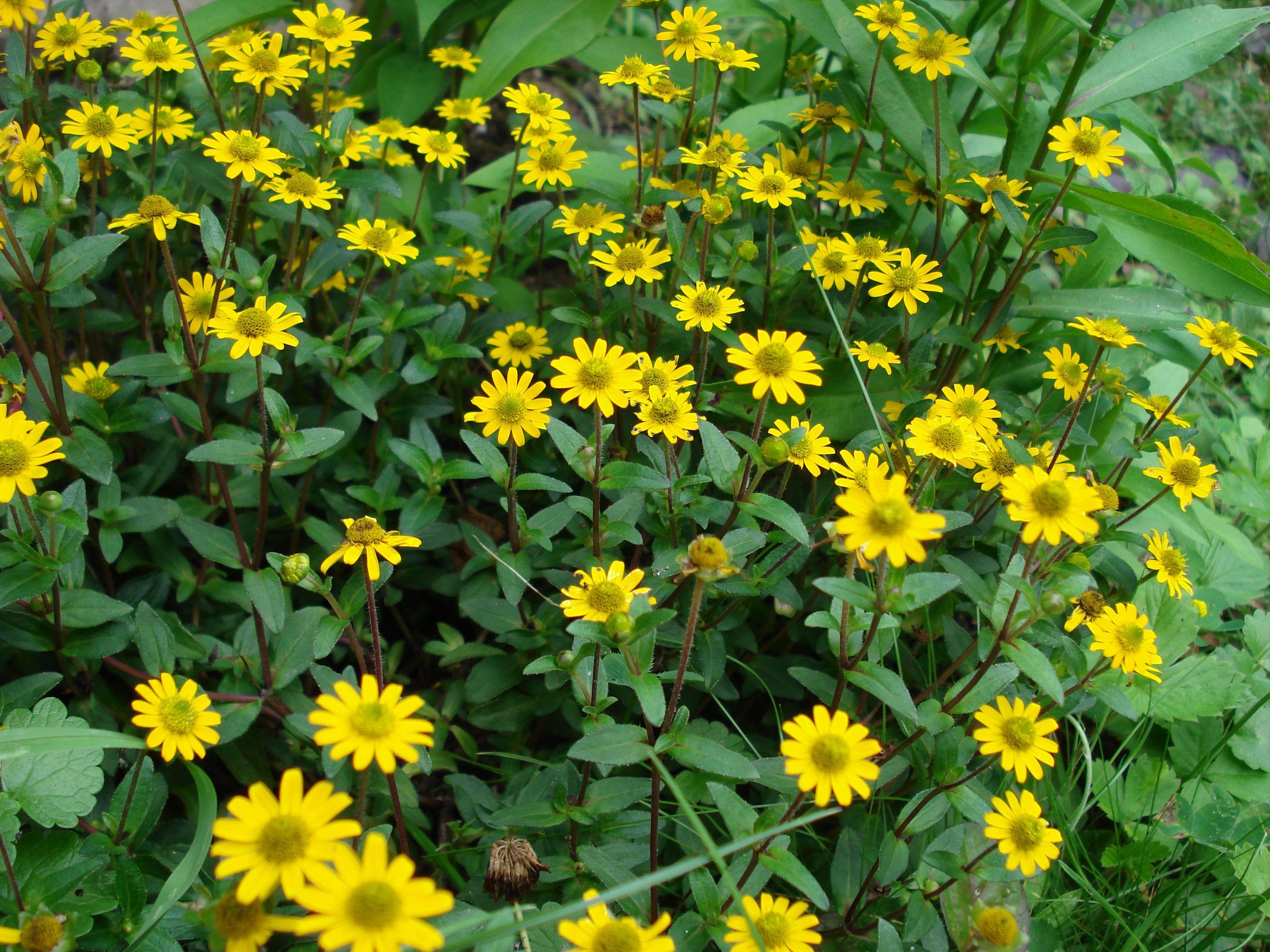 husarenknopf sanvitalia procumbens my garden pinterest gardens. Black Bedroom Furniture Sets. Home Design Ideas