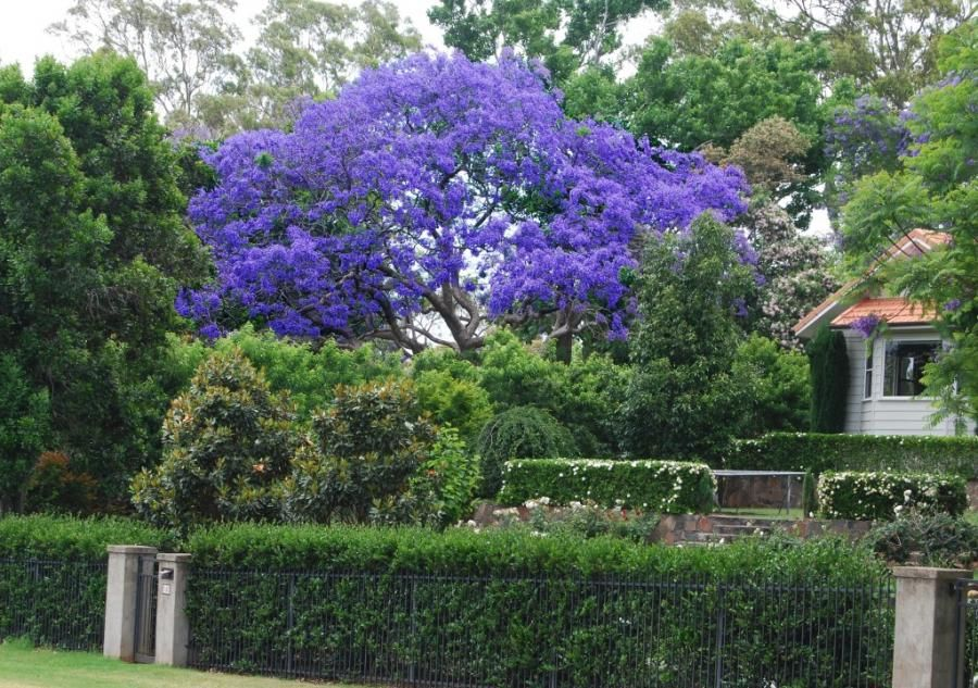 Jacaranda Tree A Favorite I Discovered In San Jose Ca They Are