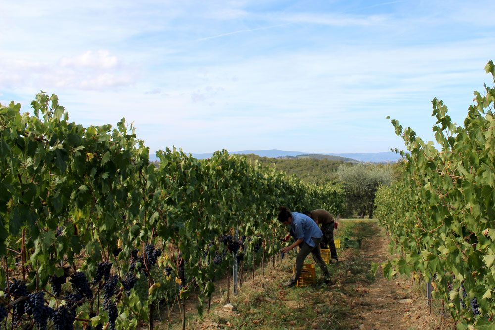An Italian Experience Not To Be Missed – La Vendemmia. Our annual grape harvest at Podere Erica in Chianti.