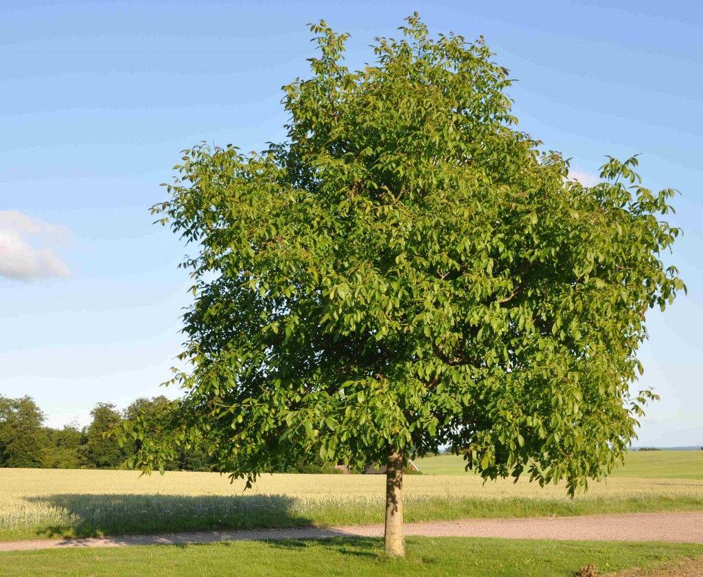 juglans regia google search trees pinterest plants. Black Bedroom Furniture Sets. Home Design Ideas