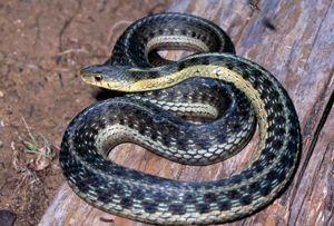Dnr Eastern Garter Snake Thamnophis Sirtalis Snake Reptile Snakes Types Of Snake