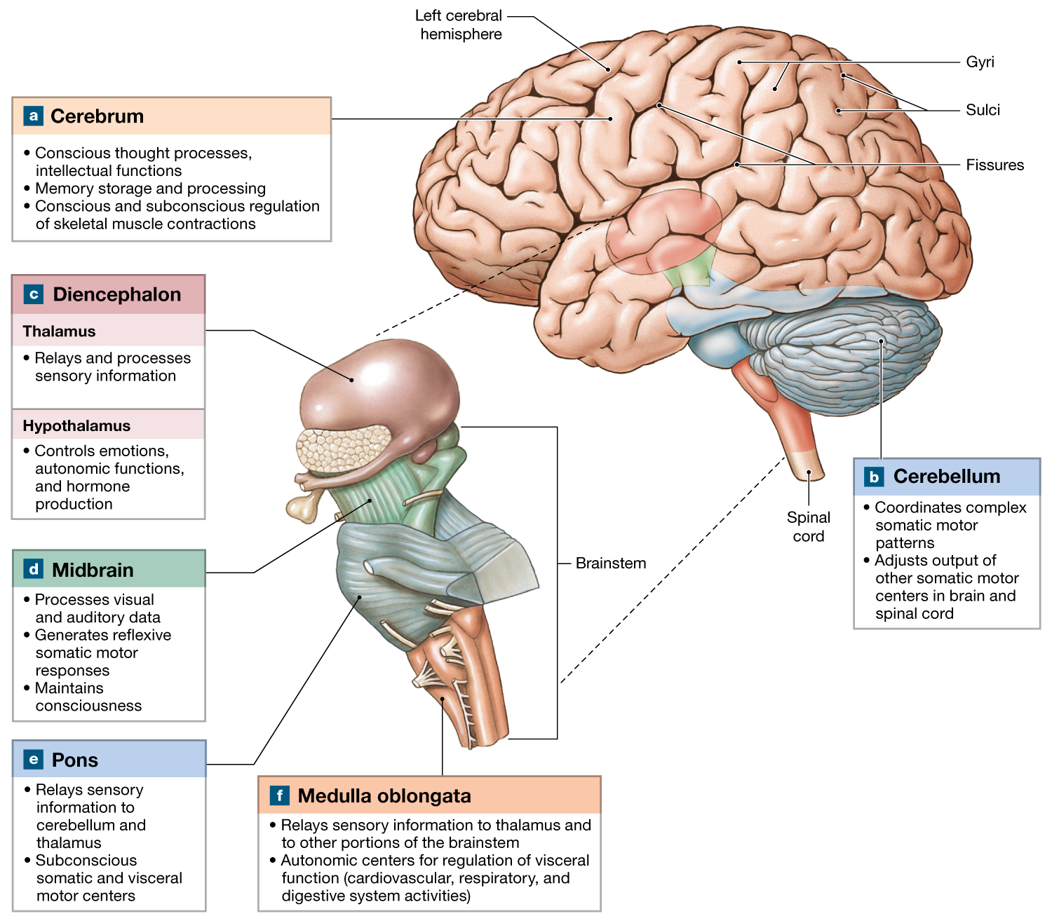 14.1: The brain develops four major regions: the cerebrum ...