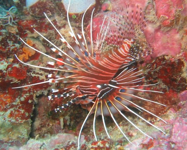 Scorpion Fish Lion Fish Sea Life Marine Fish