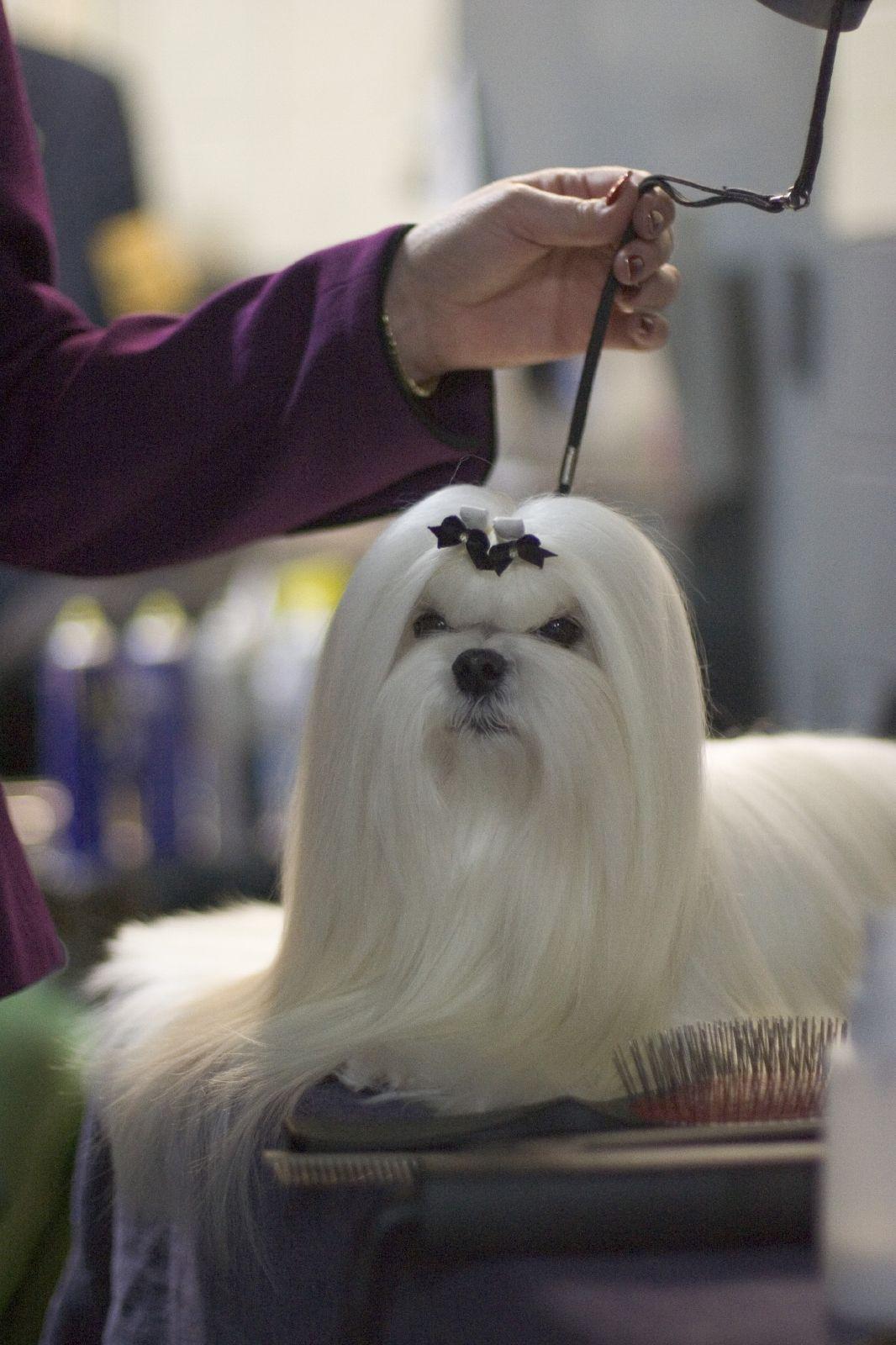 Maltese Show Dog Maltese Multichon Maltese Dogs Dog Grooming