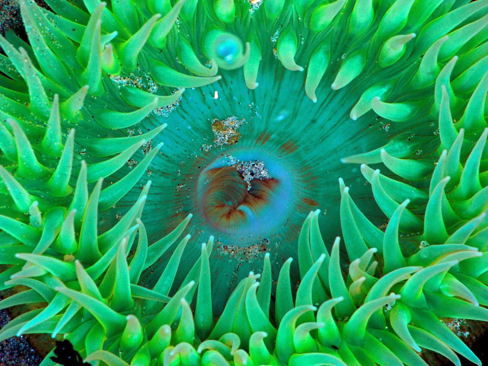 sea anemone underwater sea life free desktop background free