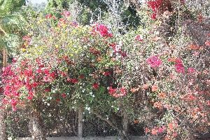 Desert Flowers, Los Cabos, Mexico. Even the hedgerows of the oasis settlements in the desert are fill of colourful flowers.