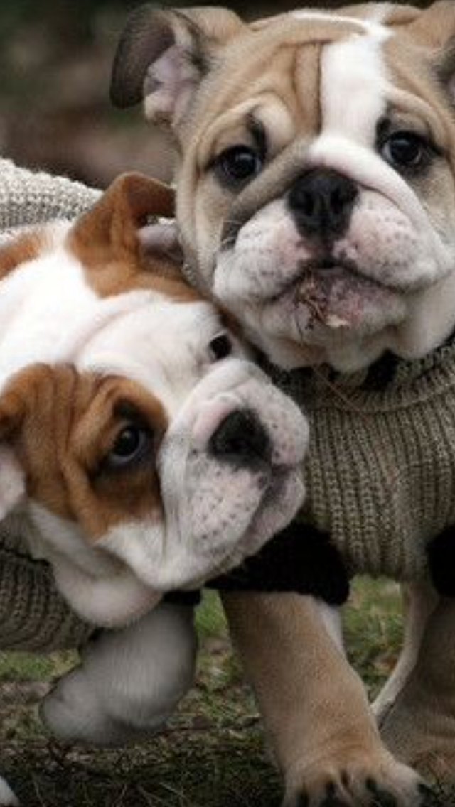 Pin by Rose Manupello on iPhone Backgrounds Bulldog