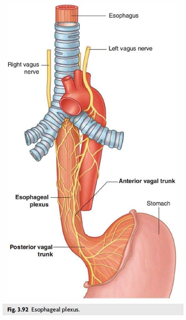 Anatomy Of Esophagus Google Search Esophagus Pinterest