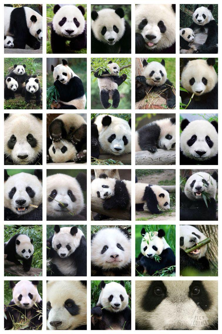 Panda collage   Cute animals, Animals, Panda