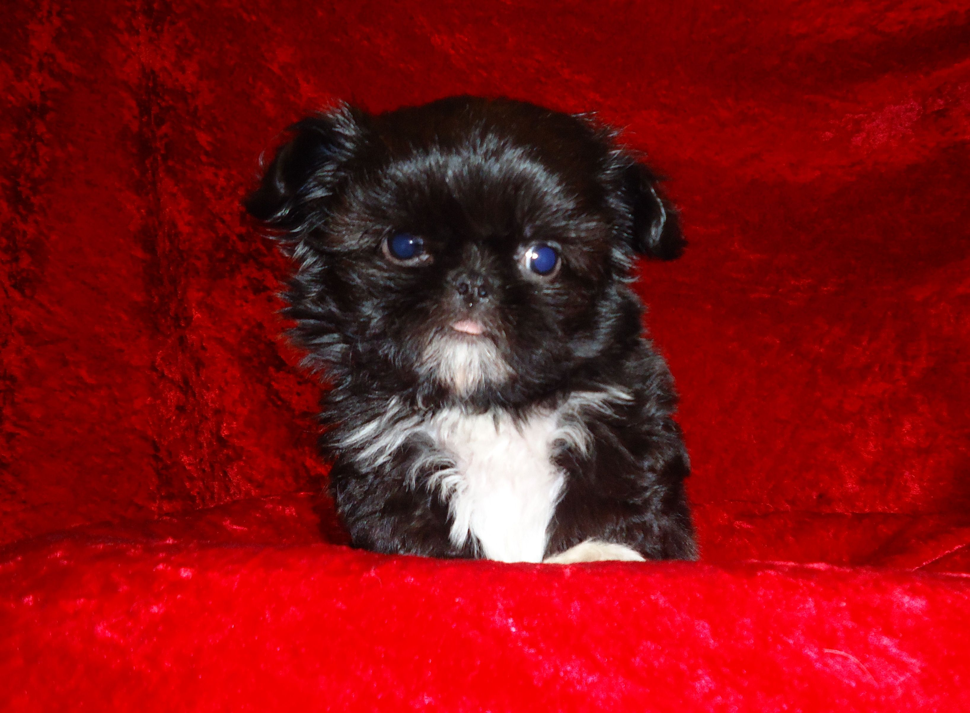 Pin by Carrie Vallone on Puppies Shih tzu puppy