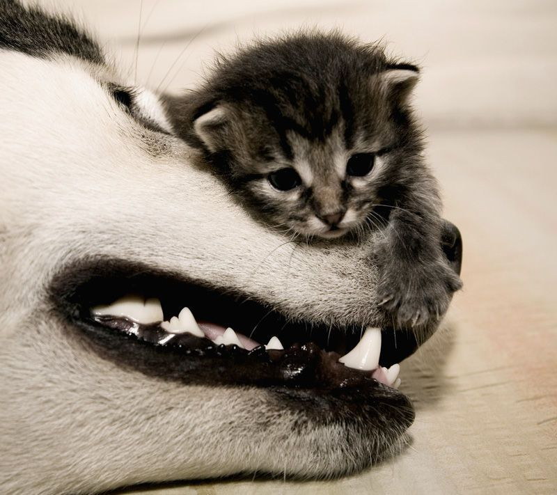 the kitty is like the size of the dogs mouth! haha bff's for sure