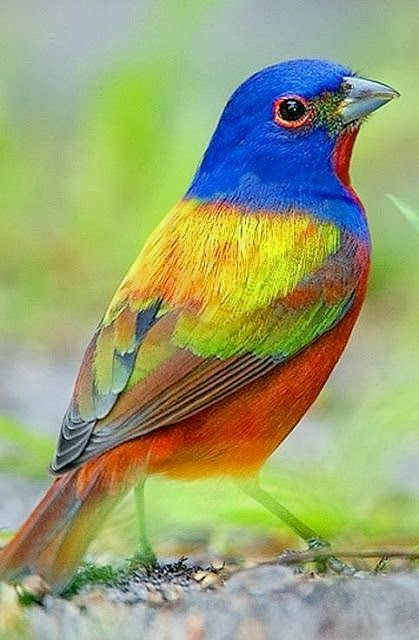 Painted #Bunting - #Birds, not my photo! I photograph this species every year, but this is not my picture.