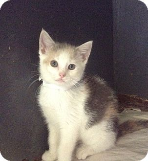 Flushing Ny Calico Meet Veronica A Kitten For Adoption Http Www Adoptapet Com Pet 13389085 Flushing New York Kitten Kitten Adoption Cat Adoption Pets
