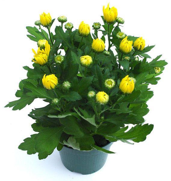 chrysanthemum morifolium 3 | chrysanthemum | pinterest