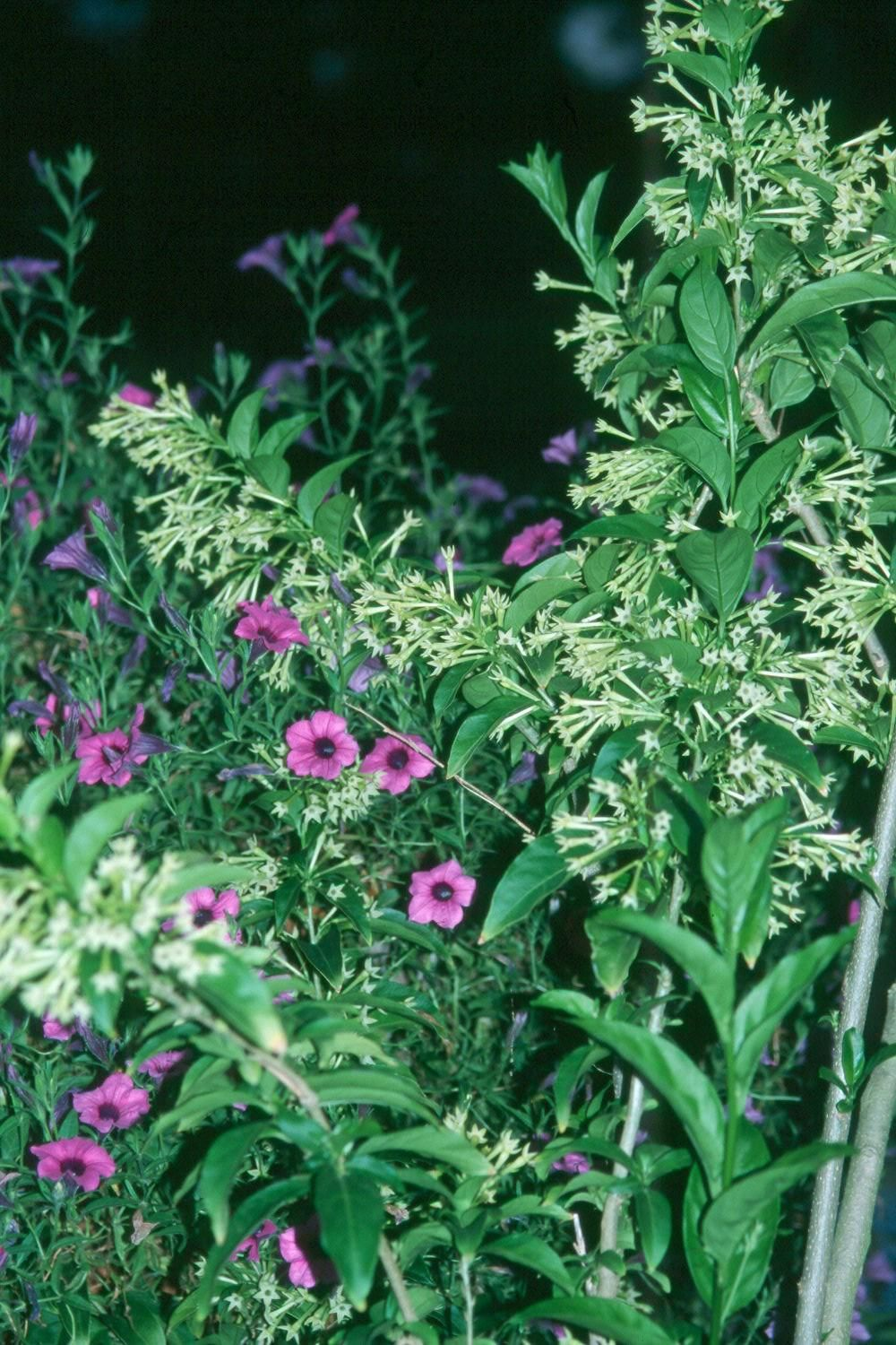 The Yellow Trumpet Shaped Flowers Of The Night Jasmine Give An