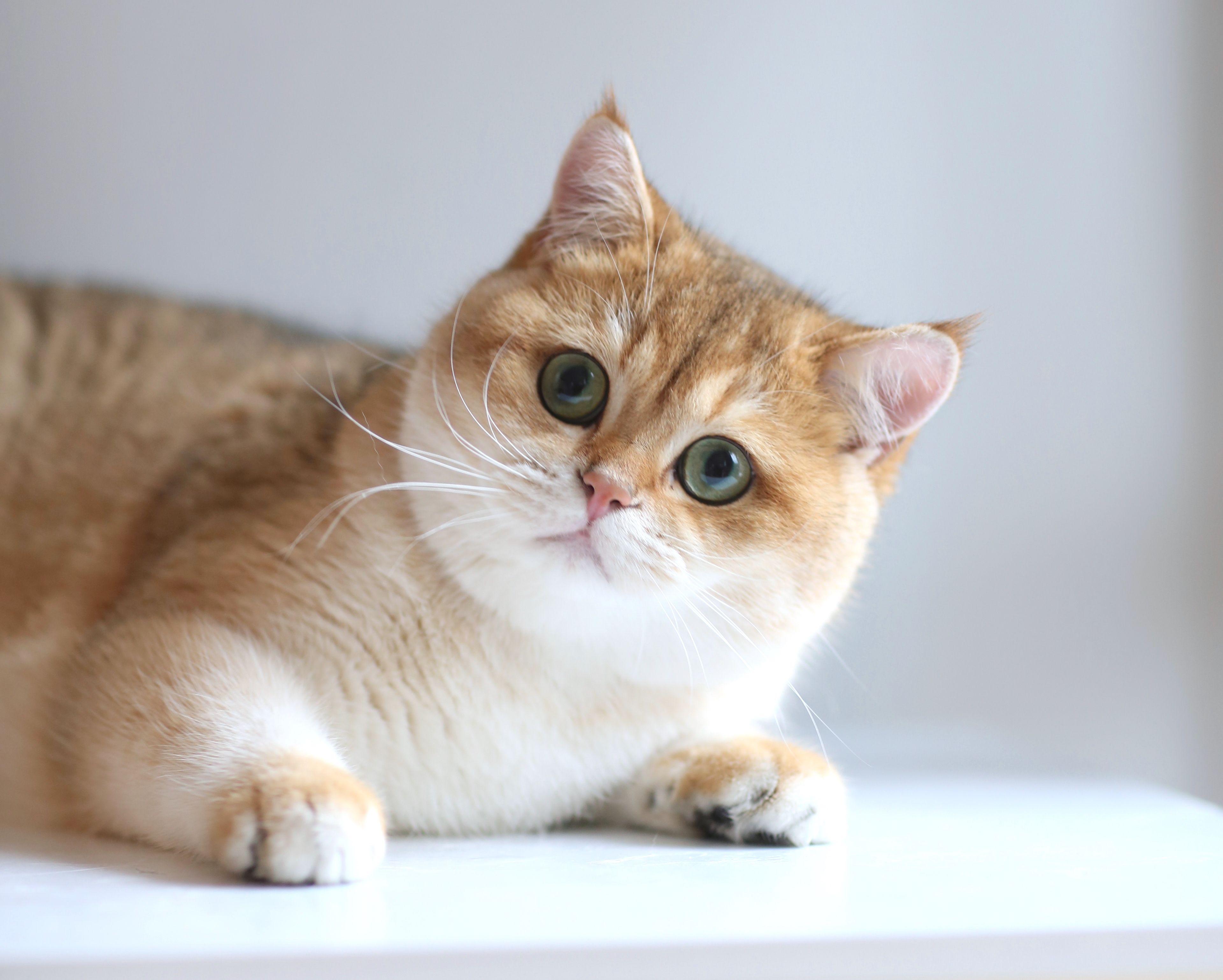 Father Of Kittens British Shorthair Kittens Cattery British Shorthair