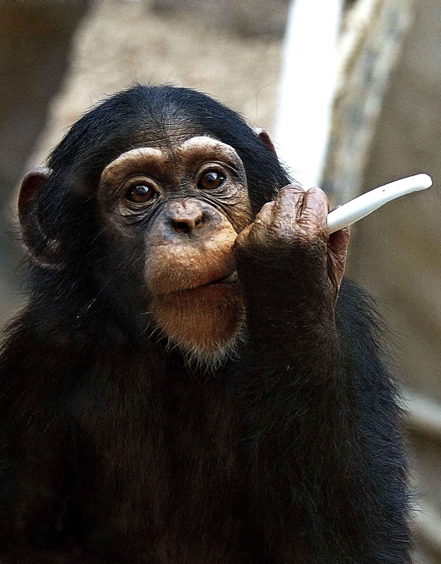 Ce petit chimpanzé s'amuse avec une brosse à dent au zoo de Bratislava.