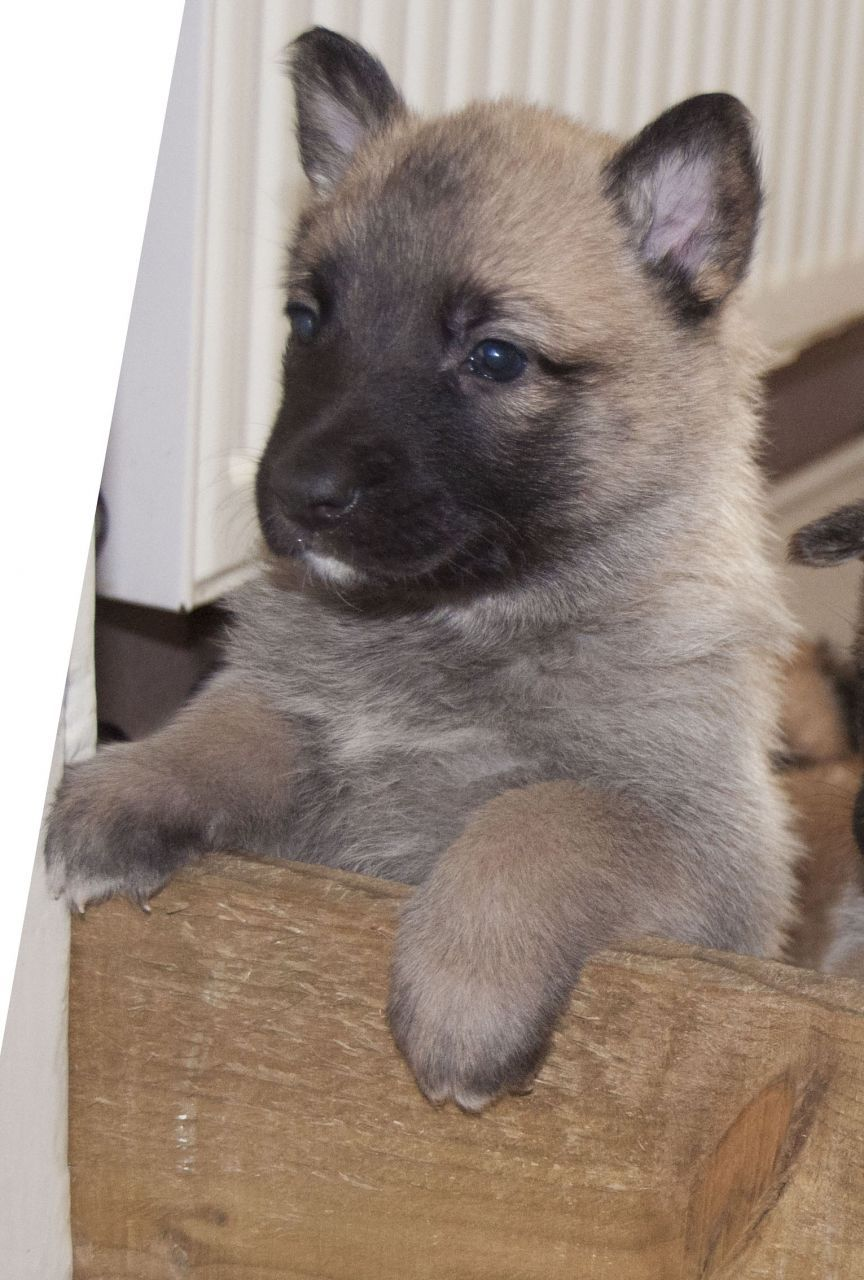 Belgian Malinois Puppy With Knpv Blood Lines Belgian Malinois