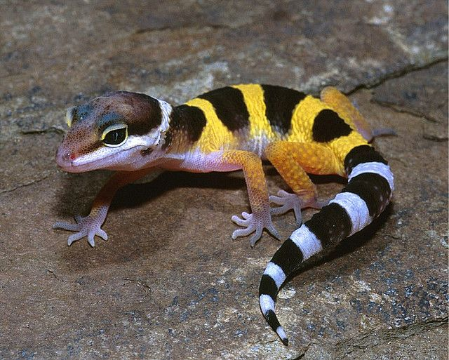 LEOPARD GECKO Eublepharis macularius | Tattoos | Pinterest ...