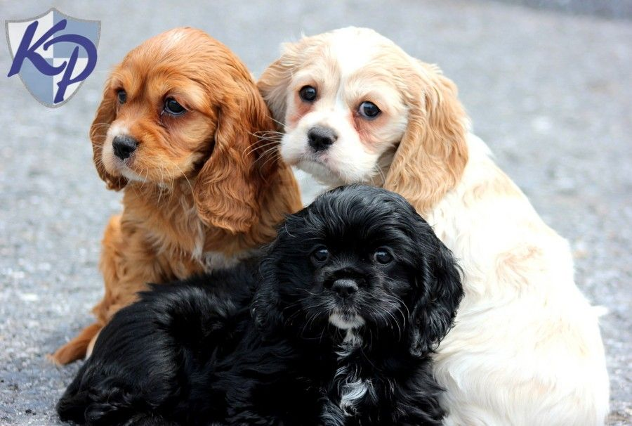 cockalier dogs for sale | Reba – Cockalier Puppies for Sale in PA | Keystone Puppies