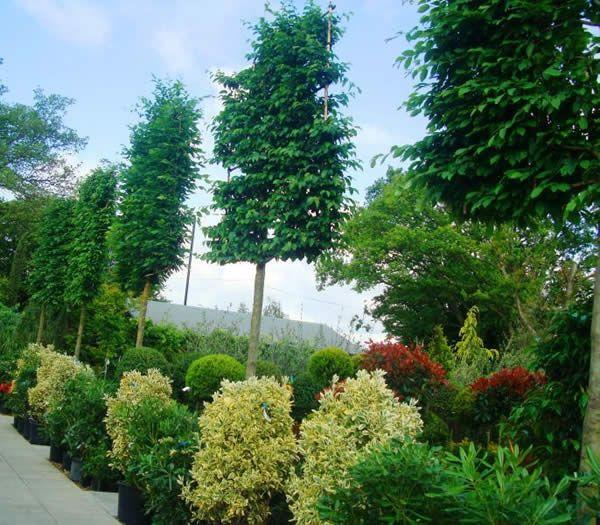 H1) Pleached Hornbeam Trees Garden Espalier  topiary Pinterest
