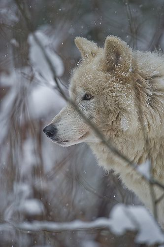 Wolf-8 | Flickr - Photo Sharing!